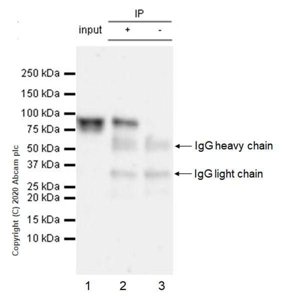 Immunoprecipitation - Anti-BMAL1 antibody [EPR23696-22] - BSA and Azide free (ab272705)