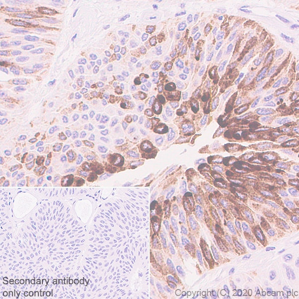 Immunohistochemistry (Formalin/PFA-fixed paraffin-embedded sections) - Anti-MUC2 antibody [EPR23479-47] - BSA and Azide free (ab272706)