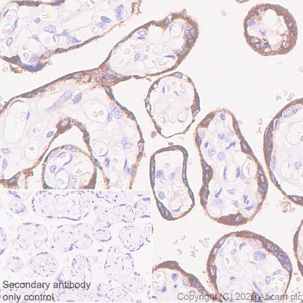 Immunohistochemistry (Formalin/PFA-fixed paraffin-embedded sections) - Anti-EBI3 antibody [EPR23372-282] (ab272709)