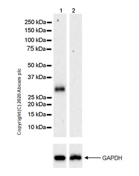 Western blot - Anti-EBI3 antibody [EPR23372-282] (ab272709)