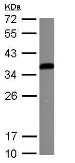 Western blot - Anti-IGFBP3 antibody (ab272857)