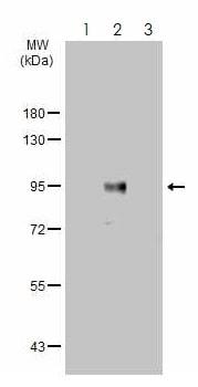 Western blot - Anti-Bcl6 antibody (ab272859)