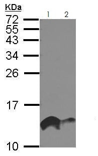 Western blot - Anti-IFITM1 antibody (ab272861)