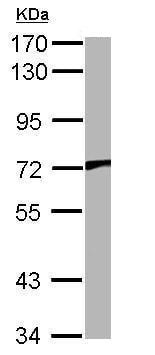 Western blot - Anti-TRPV2 antibody (ab272862)
