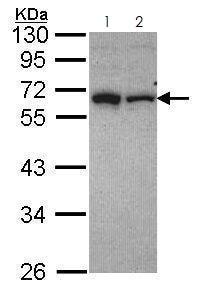 Western blot - Anti-RAP1 antibody (ab272863)