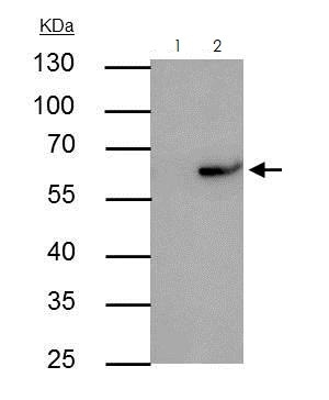 Immunoprecipitation - Anti-RAP1 antibody (ab272863)