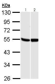 Western blot - Anti-GPCR GPR87 antibody (ab272873)