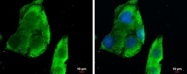 Immunocytochemistry/ Immunofluorescence - Anti-BCA1 antibody (ab272874)