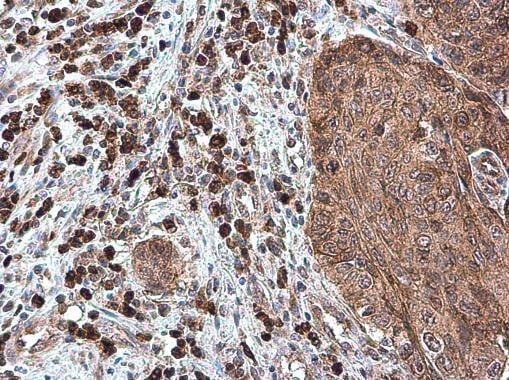 Immunohistochemistry (Formalin/PFA-fixed paraffin-embedded sections) - Anti-BCA1 antibody (ab272874)