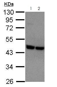 Western blot - Anti-P2Y2 antibody (ab272891)