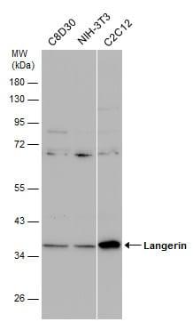 Western blot - Anti-Langerin antibody (ab272895)