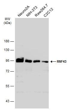 Western blot - Anti-RNF43 antibody (ab272911)