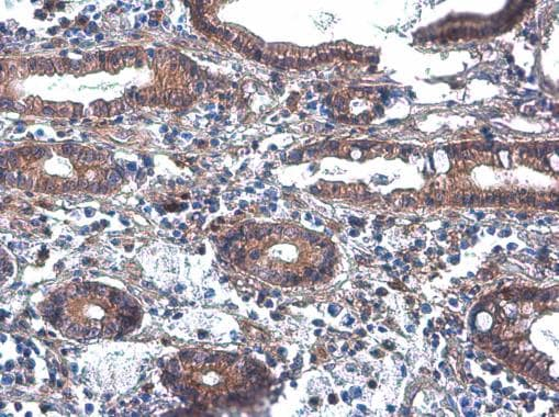 Immunohistochemistry (Formalin/PFA-fixed paraffin-embedded sections) - Anti-Phospholipase C beta 2/PLCB2 antibody (ab272919)