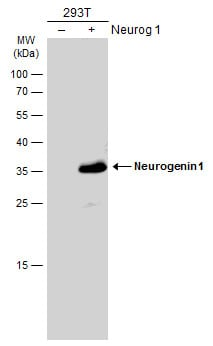 Western blot - Anti-Neurogenin 1/NEUROG1 antibody (ab272926)