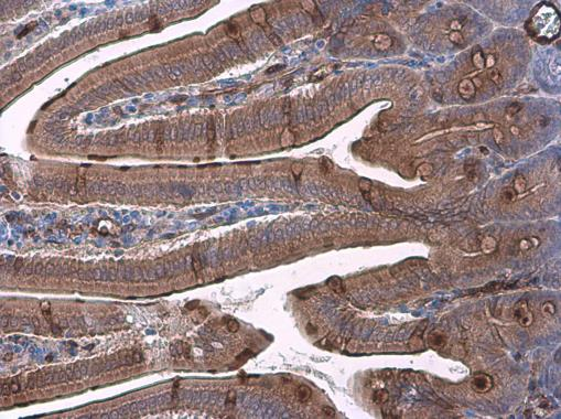 Immunohistochemistry (Formalin/PFA-fixed paraffin-embedded sections) - Anti-Trefoil Factor 3 antibody (ab272927)