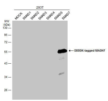 Western blot - Anti-MADH7/SMAD7 antibody (ab272928)