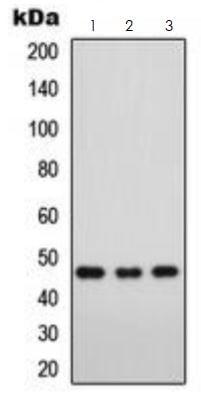 Western blot - Anti-FOXD3 antibody (ab273019)