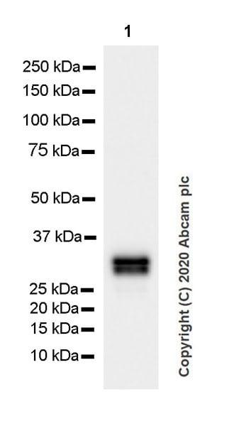 Western blot - Anti-Pit1 antibody [EPR23555-203] (ab273048)