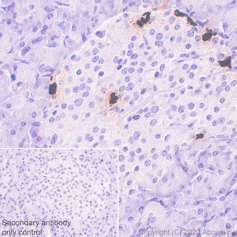 Immunohistochemistry (Formalin/PFA-fixed paraffin-embedded sections) - Anti-Pancreatic Polypeptide antibody [EPR23320-10] - BSA and Azide free (ab273055)
