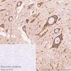 Immunohistochemistry (Formalin/PFA-fixed paraffin-embedded sections) - Anti-Sigma1-receptor antibody [EPR23266-69] - BSA and Azide free (ab273058)