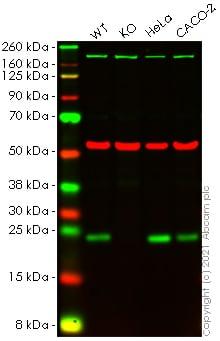 Western blot - Anti-Sigma1-receptor antibody [EPR23266-69] - BSA and Azide free (ab273058)