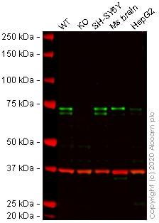 Western blot - Anti-MeCP2 antibody [EPR23201-3] - BSA and Azide free (ab273059)
