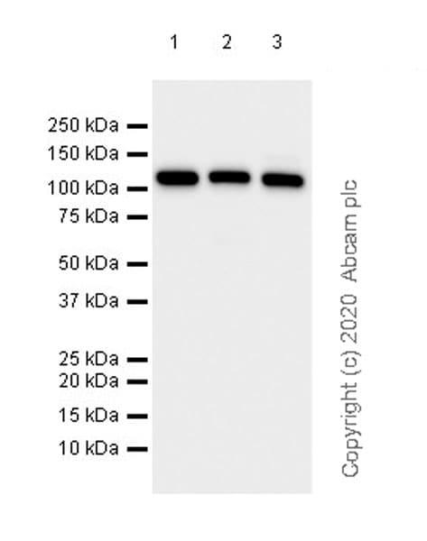 Western blot - Anti-MVP antibody [EPR23594-106] (ab273093)