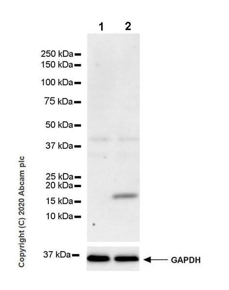 Western blot - Anti-IL36 gamma/IL-1F9 antibody [EPR23333-107] - BSA and Azide free (ab273095)