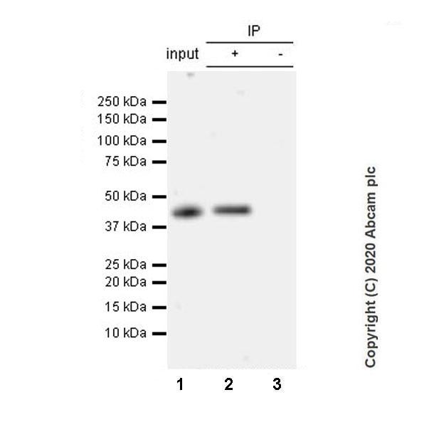 Immunoprecipitation - Anti-BRN3A antibody [EPR23257-285] - BSA and Azide free (ab273099)