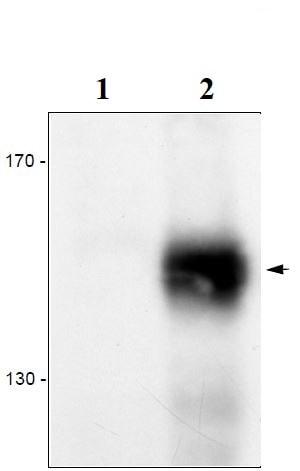 Western blot - Anti-VEGF Receptor 3 antibody [7A3] (ab273148)