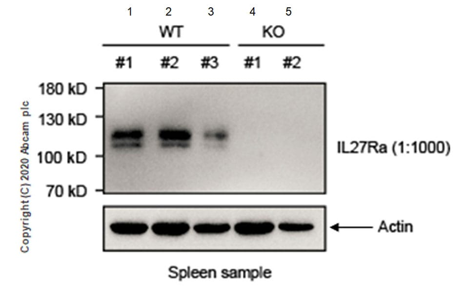 Western blot - Anti-WSX-1 antibody [EPR20863-3] - BSA and Azide free (ab273155)