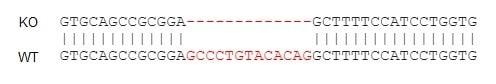 Sanger测序-人CD74基因敲除Raji细胞系(ab273378)