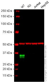 Western blot-人CD74基因敲除Raji细胞系(ab273378)