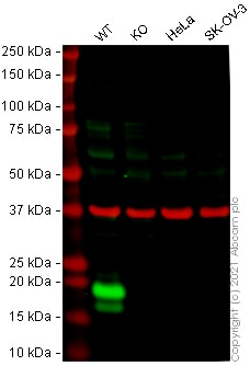 Western blot - Human IL1RN knockout A-431 cell line (ab273379)