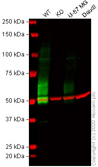 Western blot - Human IL13RA2 knockout A375 cell line (ab273381)