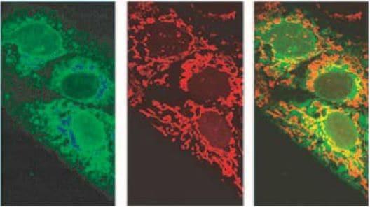 Immunocytochemistry/ Immunofluorescence - Anti-Protein 7a antibody [3C9] (ab273435)