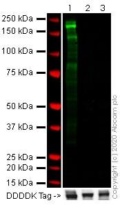 Western blot - Anti-SARS spike glycoprotein S1 antibody [7G12] (ab273436)