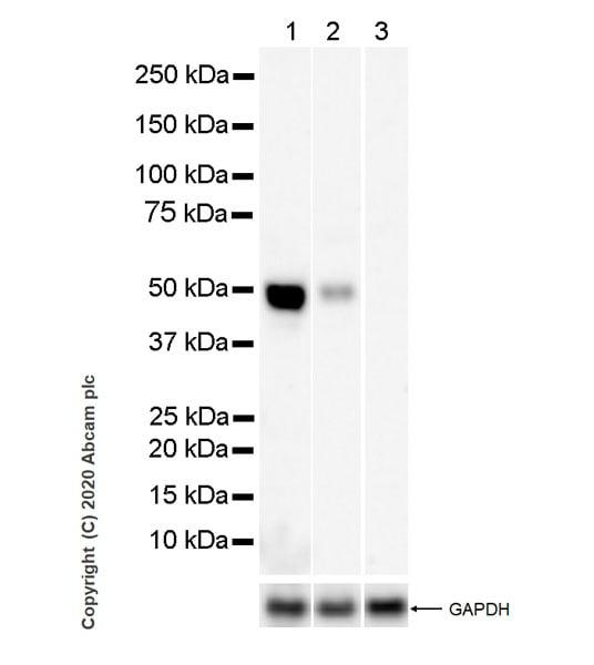 Western blot - Anti-Inhibin alpha antibody [PO12/8] - BSA and Azide free (ab273486)