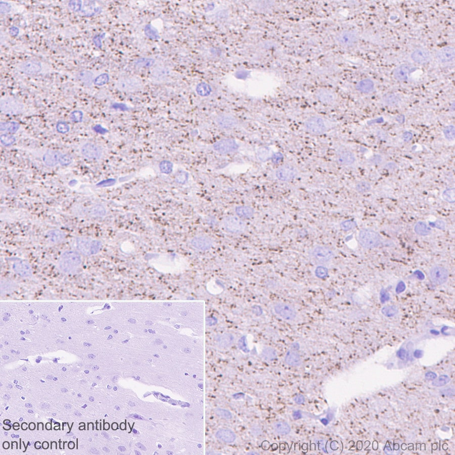 Immunohistochemistry (Formalin/PFA-fixed paraffin-embedded sections) - Anti-Caspr antibody [EPR23439-48] - BSA and Azide free (ab273505)