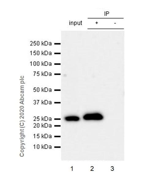 Immunoprecipitation - Anti-mtTFA antibody [EPR23548-120] - BSA and Azide free (ab273508)