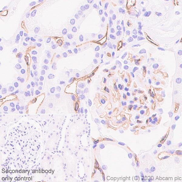 Immunohistochemistry (Formalin/PFA-fixed paraffin-embedded sections) - Anti-eNOS antibody [EPR23750-3] - BSA and Azide free (ab273574)