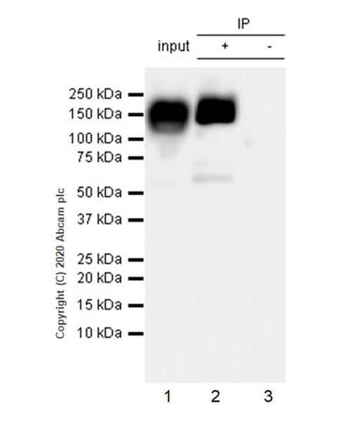 Immunoprecipitation - Anti-eNOS antibody [EPR23750-3] - BSA and Azide free (ab273574)