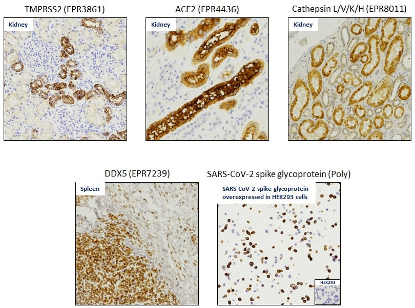 Covid-19 GeoMx-formatted Antibody Panel