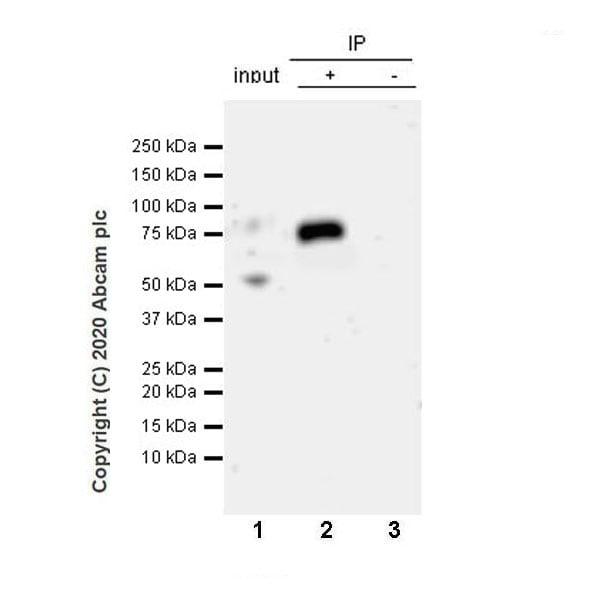Immunoprecipitation - Anti-ZPI antibody [EPR23683-118] (ab273627)