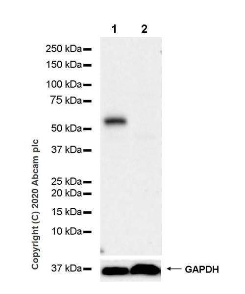 Western blot - Anti-PTEN antibody [EPR23729-4] - BSA and Azide free (ab273629)