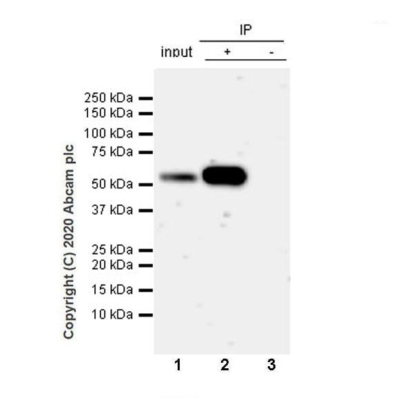 Immunoprecipitation - Anti-PTEN antibody [EPR23729-4] - BSA and Azide free (ab273629)