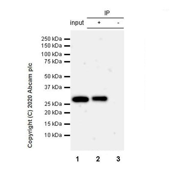 Immunoprecipitation - Anti-Geminin antibody [EPR23754-87] - BSA and Azide free (ab273633)