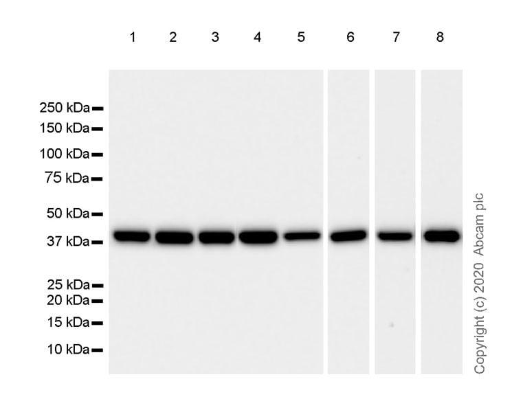 Western blot - Anti-Aldolase antibody [EPR23181-39] - BSA and Azide free (ab273636)