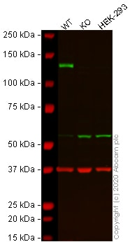 Western blot - Human ITGA6 (Integrin alpha 6) knockout SW480 cell line (ab273699)