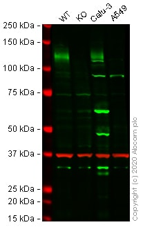 Western blot - Human ACE2 knockout Caco 2 cell line (ab273731)